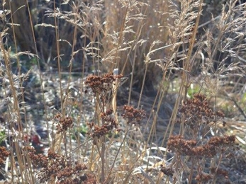 Ornamental grass and sedum seed heads in a Wiltshire garden