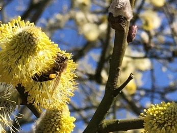 Honey bees fill their pollen baskets on the pussy willow