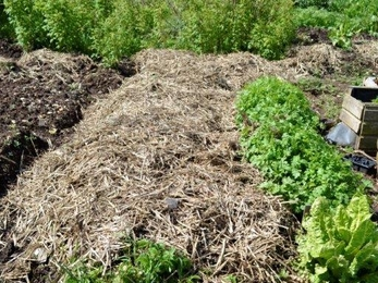 Potatoes bedded down with straw to protect them from Jack Frost's bite