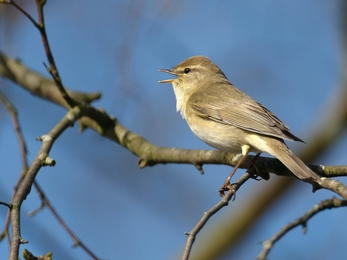 Willow warbler (c) Chris Gomersall/2020VISION