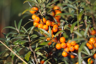 Sea-buckthorn