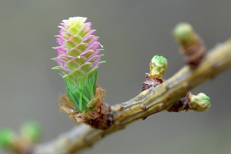 European Larch