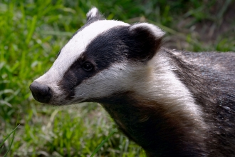 Badger (C) Terry Longley