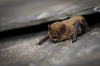 Common Pipistrelle Bat (C) Tom Marshall
