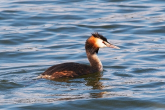 GREAT CRESTED GREBE - (c) Elliot Smith.jpg