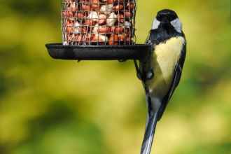 Great Tit on Feeder (c) Amy Lewis