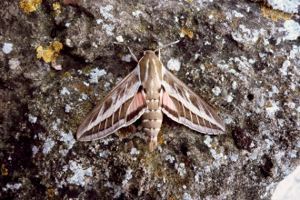 Striped hawk moth found at Greystones Farm nature reserve June 2012
