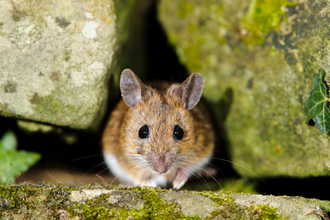 Wood mouse (c) Clive Mowforth