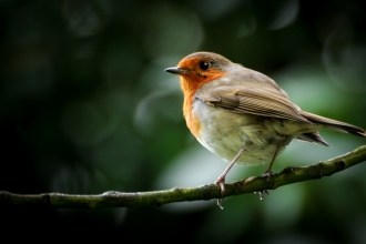 'A robin not just for xmas' (c)James McGarva PC2017.jpg