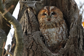 Tawny owl -Margaret Holland