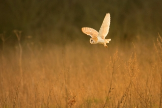 Barn owl swooping over a field