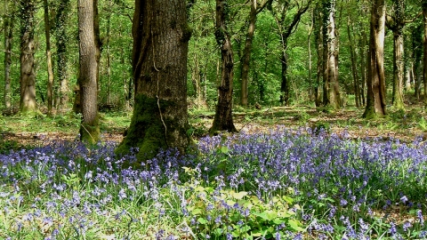 Bluebells in Lower Woods (c) GWT
