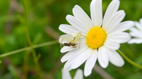 Crab Spider - Practical Ecology