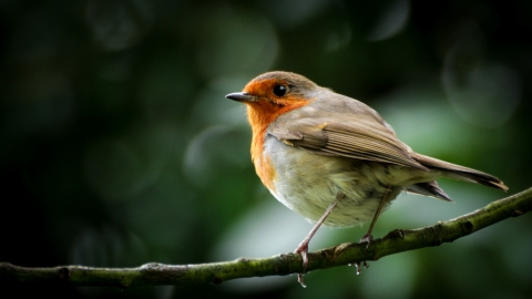 A robin not just for xmas' (c)James McGarva