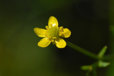 Badgeworth Buttercup (C) Brian Clarke