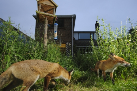 Foxes in garden