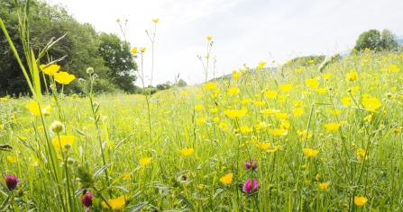 Yellow and pink wildflower field at Crickley Hill