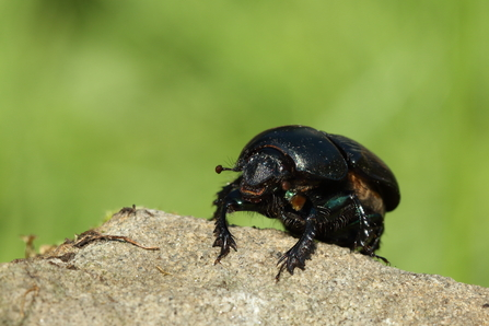 Common Dumble Dor (Dung beetle)