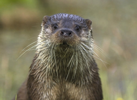 Otter (C) Andy Rouse