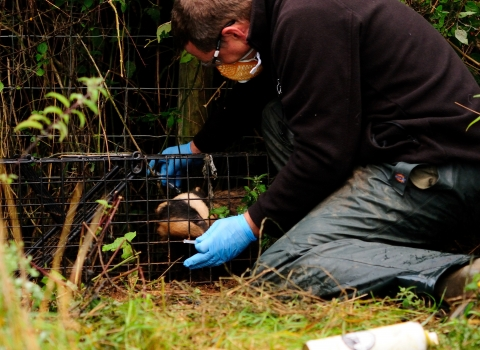 Badger vaccination - Gloucestershire Wildlife Trust